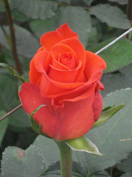 santana standard rose roses flowers by category. Black Bedroom Furniture Sets. Home Design Ideas