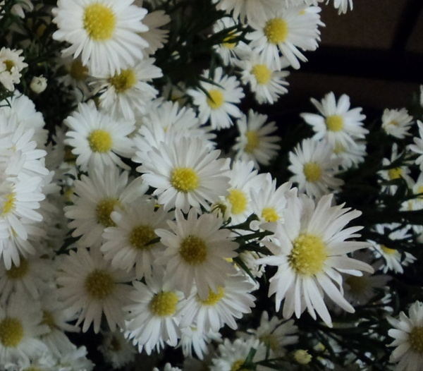 michelle white  spray asters  asters  flowers by category, Beautiful flower