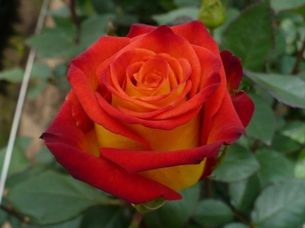 flower circus rose