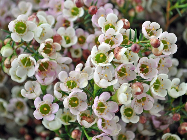 Revelation Waxflower Flowers And Fillers Flowers By