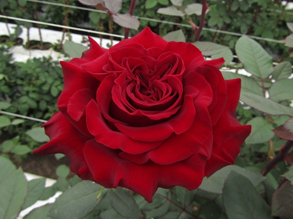 Hearts - Standard Rose - Roses - Flowers by category ...
