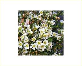 Waxflower Flowers on Waxflower   Flowers And Fillers   Flowers By Category   Sierra Flower