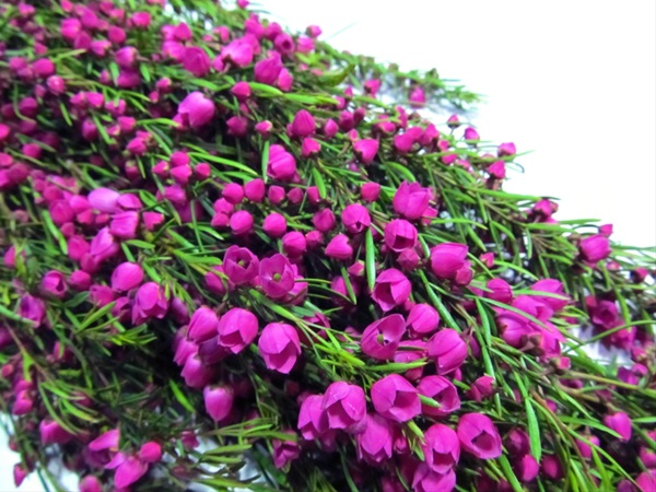 Boronia pink boronia flowers and fillers flowers by category grower and breeder information mightylinksfo