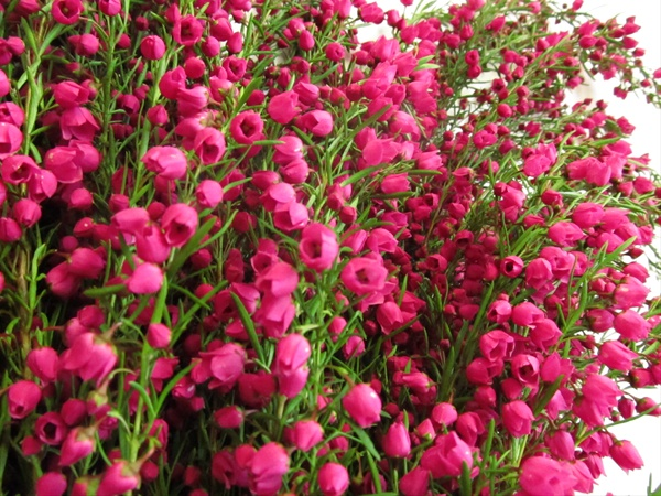 Boronia pink boronia flowers and fillers flowers by category added by ismael mightylinksfo