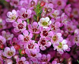 Painted Lady Waxflower Flowers And Fillers Flowers By Category