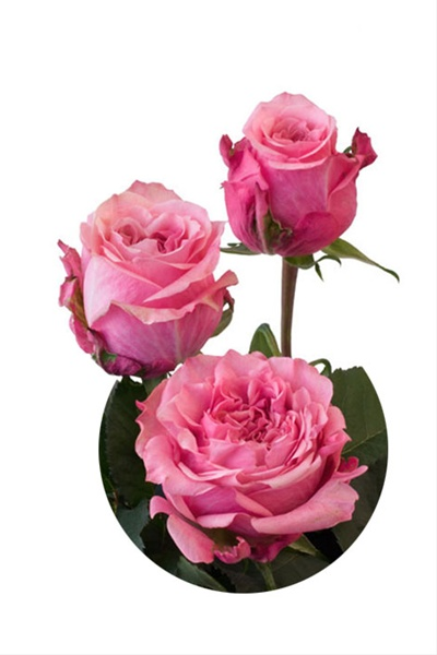 Art Deco - Standard Rose - Roses - Flowers By Category | Sierra