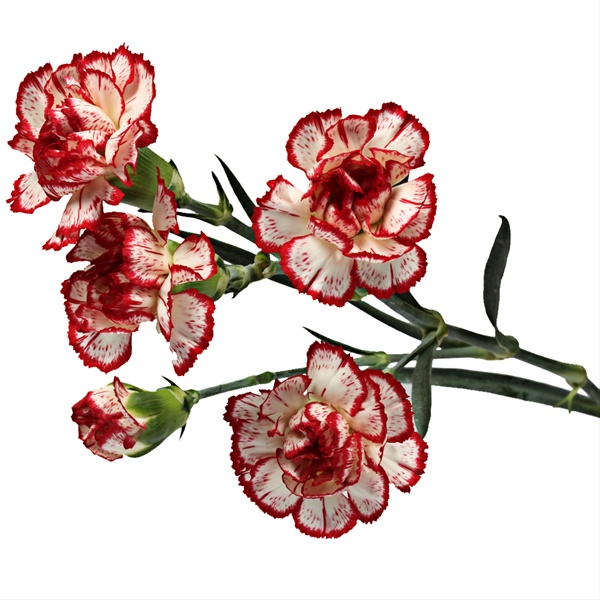 f3df5930d94e Minueto - Mini Carnation - Carnations - Flowers by category