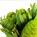 Leucadendron Platystar