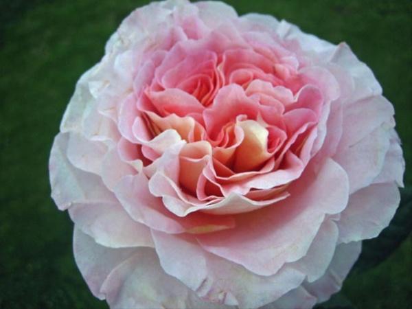 augusta luise garden rose roses flowers by category sierra flower finder. Black Bedroom Furniture Sets. Home Design Ideas