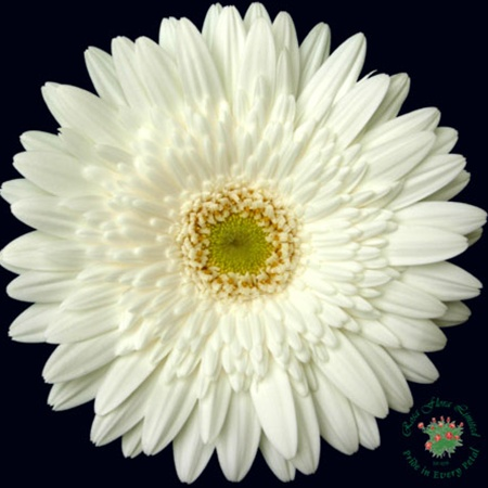 Balance gerbera flowers and fillers flowers by category grower and breeder information mightylinksfo Choice Image