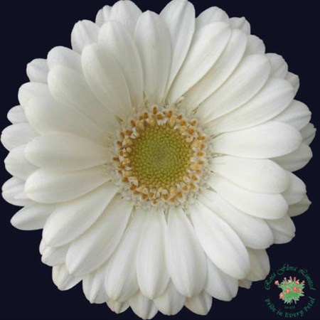 Mini gerbera albino gerbera flowers and fillers flowers by grower and breeder information mightylinksfo