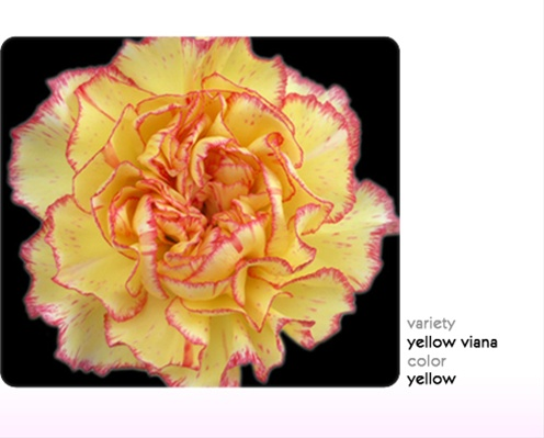 Yellow viana standard carnation carnations flowers by category yellow viana mightylinksfo
