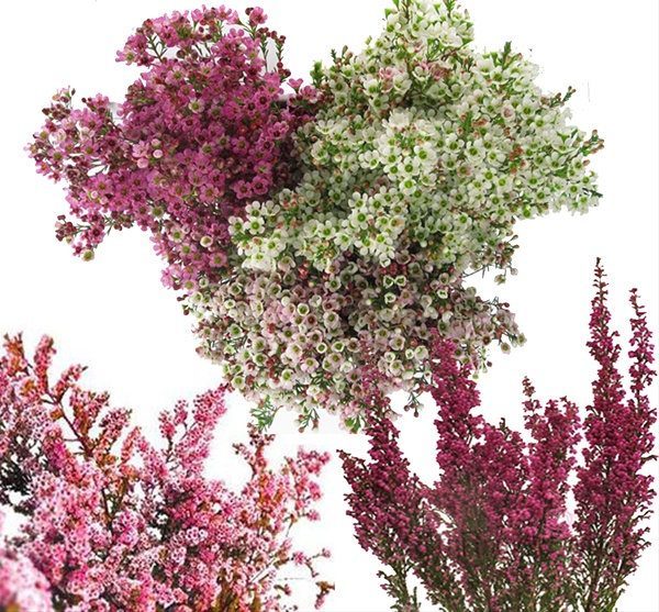 Thrypto / Wax Filler Flower Combo Box - Thryptomene - Flowers and ...