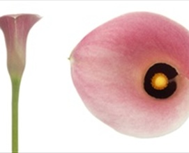 Pink panther calla lily flowers and fillers flowers by grower and breeder information mightylinksfo