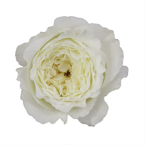 added by David Austin Roses