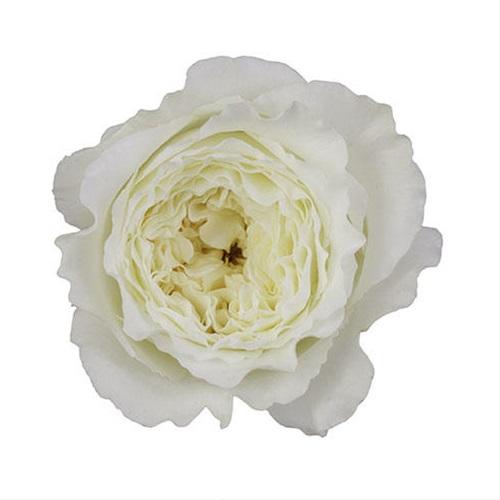 patience - garden rose - roses - flowerscategory | sierra