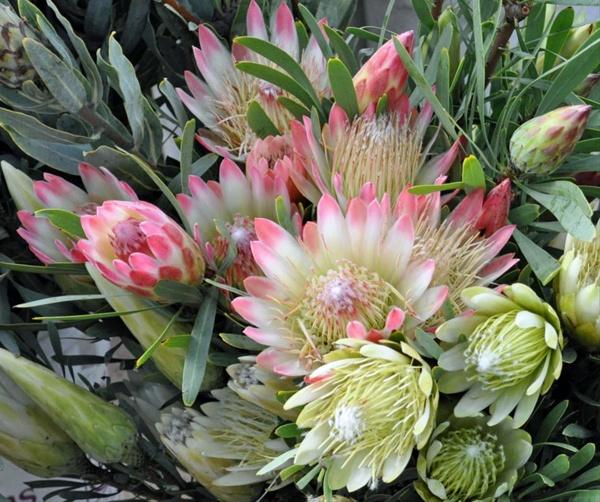 Pink Sugarbush Protea Proteas And Leucadendrons