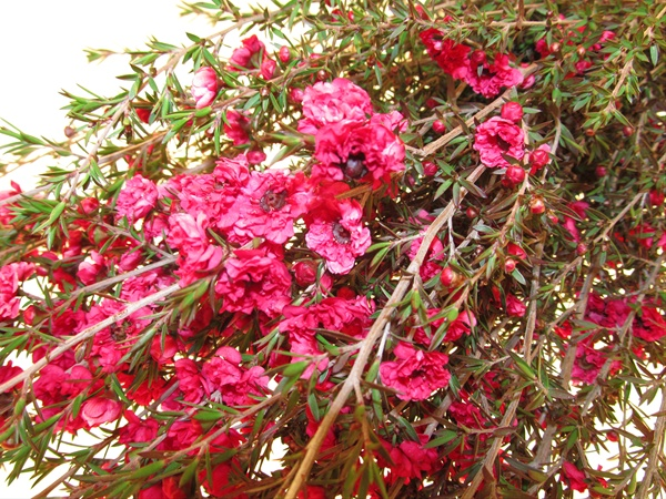 Leptospermum raspberry leptospermum flowers and fillers grower and breeder information mightylinksfo