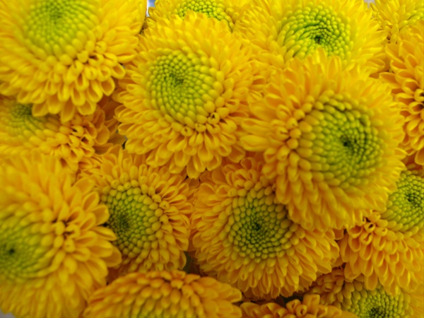 Paintball yellow spray pompoms chrysanthemum flowers by added by vegaflor mightylinksfo