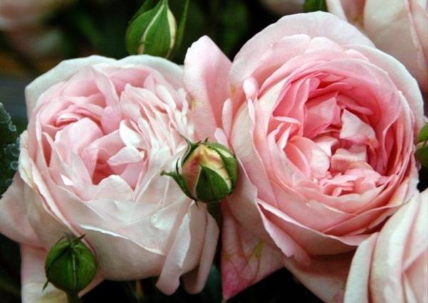 Google image result for - Rose cultivars garden ...
