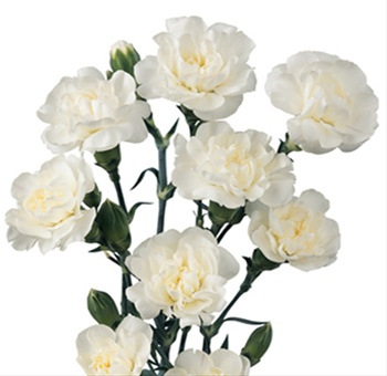 bagatel white mini carnation carnations flowers by category sierra flower finder. Black Bedroom Furniture Sets. Home Design Ideas