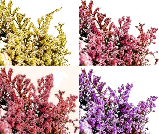 Thryptomene natural tinted mix thryptomene flowers and fillers grower and breeder information mightylinksfo