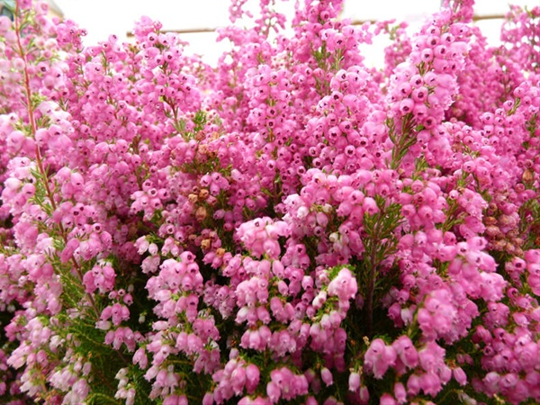Erica hot pink gracillis heather erica flowers and for Erica gracilis
