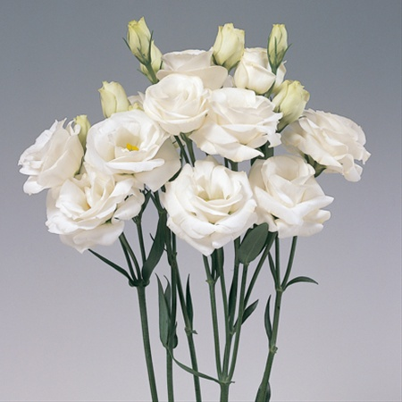 Rosita White Lisianthus Flowers And Fillers Flowers