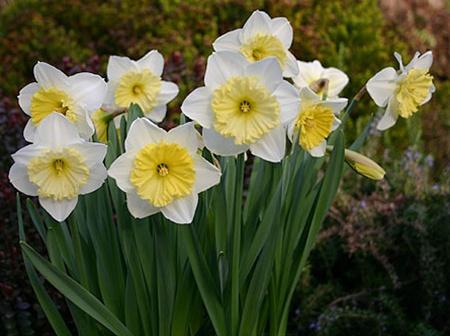 http://sierraflowerfinder.blob.core.windows.net/medias/FlowerPictures/7044/NarcissusIceFollies030205%5B1%5D.jpg