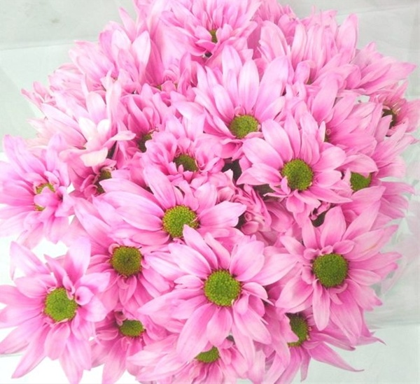 Tinted pink pastel spray pompoms chrysanthemum flowers by added by louise mightylinksfo