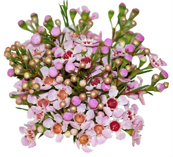 White majestic pink majestic hybrid wax california waxflower added by louise mightylinksfo