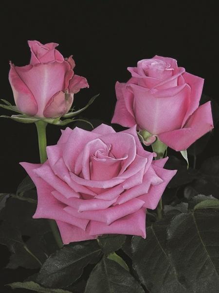фото роза гоча