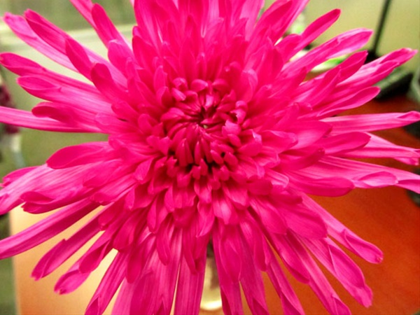 Yazoo tinted hot pink disbudsmums chrysanthemum flowers by grower and breeder information mightylinksfo