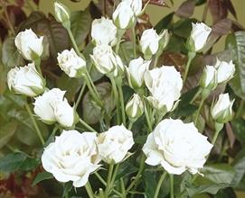White mikado spray rose roses flowers by category sierra white mikado mightylinksfo