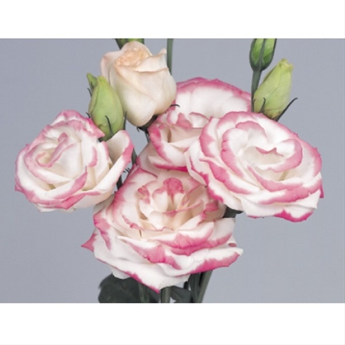 Rosita pink picotee lisianthus flowers and fillers flowers by added by colin mightylinksfo