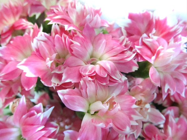 Dianthus Bicolor Pink Star Cherry Dianthus Flowers And Fillers