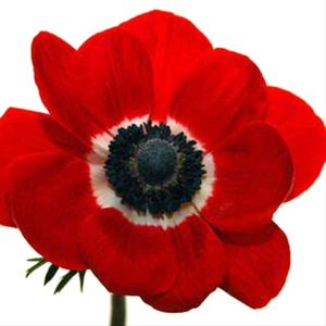 Anemone Marianne Red