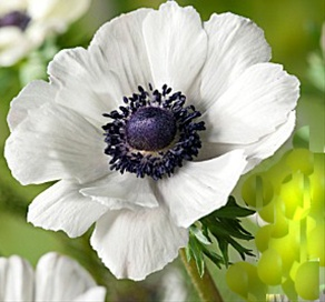 Marianne white anemone flowers and fillers flowers by category grower and breeder information mightylinksfo