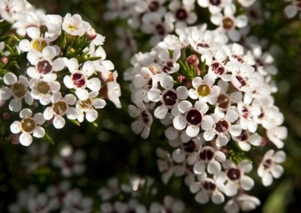 White fire waxflower flowers and fillers flowers by category added by louise mightylinksfo Choice Image