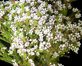 White fire waxflower flowers and fillers flowers by category grower and breeder information mightylinksfo