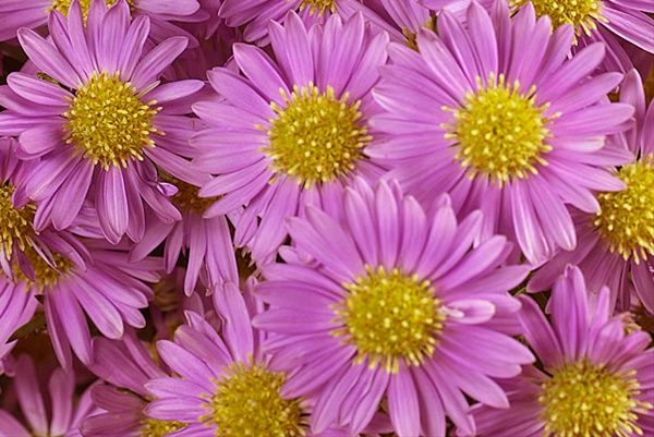 pink monarch  spray asters  asters  flowers by category, Beautiful flower