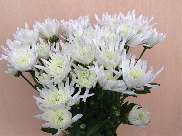 Pom white yazoo spray pompoms chrysanthemum flowers by added by louise mightylinksfo