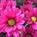 Pom Daisy Hot Pink Diego