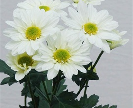 Reagan white spray pompoms chrysanthemum flowers by category reagan white spray pompoms chrysanthemum flowers by category sierra flower finder mightylinksfo