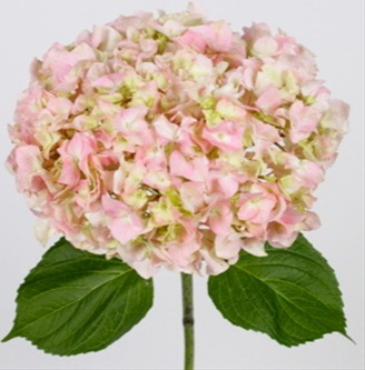 Pink lemonade hydrangea flowers and fillers flowers by added by dannydueso mightylinksfo