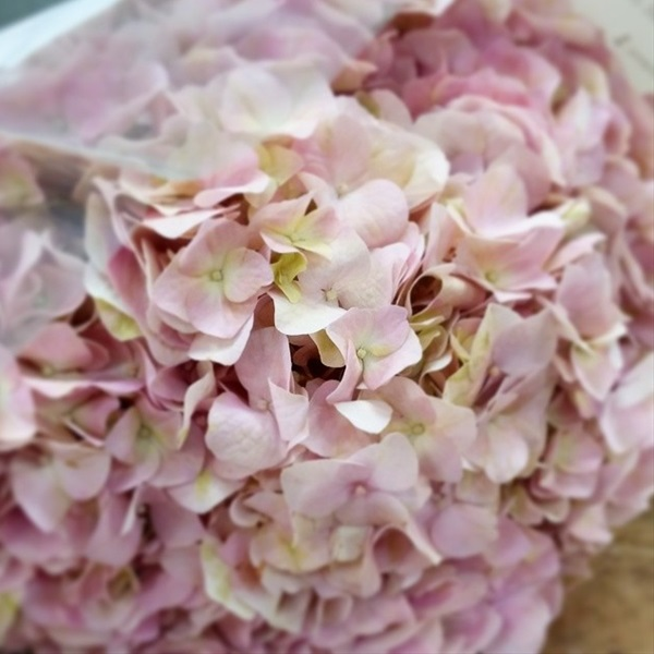 Pink lemonade hydrangea flowers and fillers flowers by grower and breeder information mightylinksfo