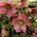 Helleborus Pink
