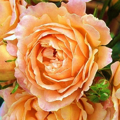 Peach Garden Rose mayra's peach - garden rose - roses - flowerscategory | sierra
