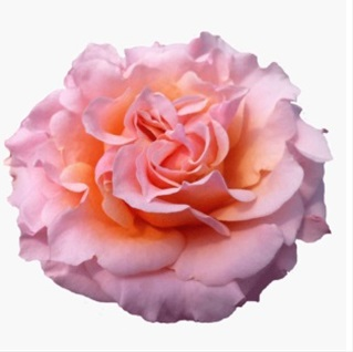 added by catalina - Peach Garden Rose