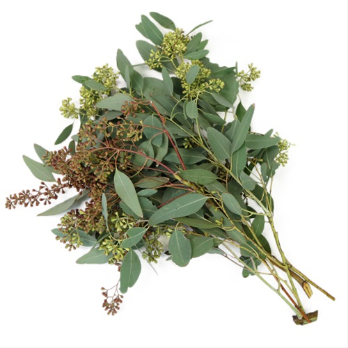 eucalyptus willow seeded eucalyptus greens foliages